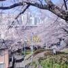 今年の桜と聖蹟桜ヶ丘の「桜まつり」