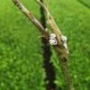 長雨で茶畑に生えてくるキノコたち