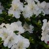 サツキ、いいね!健康な葉に時々色違いの花色。