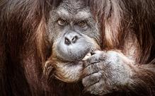 野生のオランウータン、沼にはまった男性に手を差し伸べる【英語多読ニュース115】