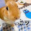 【ミニウサギのサスケ先輩】うさぎ動画で笑ってコロナストレスから少しでも癒されてほしい!