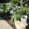 宿根草とミモザの植え替え