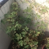 ブラックベリーの葉がすかすか。虫は見当たらない!?