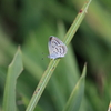 10/9・ふる里の秋シジミ 〜 稲刈り前にシルビアシジミに会ってきました