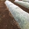徐々に最低気温が下がり、徐々に虫除けネットを外す畝が増えてきた2020年秋(リアル)