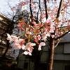 早咲きが。