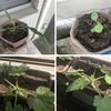 ガーデンニング:生長の春!! ※プランターへの引っ越しが完了しました。