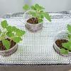 コールラビの水耕栽培(3回目)をしています。今度こそは大きく肥大化した茎を収穫したいです