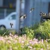 スズメの春の運動会