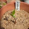 ロウバイの種 植え直し Chimonanthus praecox seeds