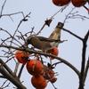 熟れた柿を啄むムクドリ