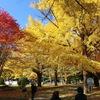 札幌市 北大銀杏並木 / 10月の銀杏並木の状態を3日間観測