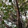 シロ子の木。