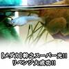 【メダカ】幹之スーパー光!!リベンジから2ヶ月!!繁殖に大成功!!稚魚も元気に育ってます。