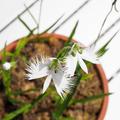 自宅ベランダで咲いた【世田谷区の区花】サギソウ(鷺草)。花言葉は、「無垢」、「清純」、「繊細」など。