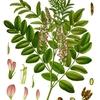 Licorice リコリス