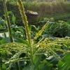 トウモロコシの受粉作業をしました!脇芽挿しの状況と2番穂挿しも。
