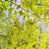 そぶえイチョウ黄葉まつり2017