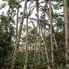米原ヤエヤマヤシ群落。名も知らぬ遠き島より流れ着いた?石垣島と西表島だけに自生する椰子。
