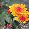 食用菊はビタミンが豊富! ところで、観賞用の菊は食べても良いの?