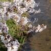 一の坂川:桜⑦