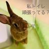 ウサギのちまきトイレトレーニング方法