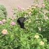 黒アゲハ蝶は「幸運を呼ぶ」ってしってますか?