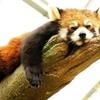レッサーパンダの特徴:web動物図鑑