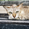 (ベンジャシリ公園)のタイ猫たち