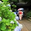 紫陽花⑦(鎌倉・雨の報国寺)
