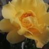 2012/05/08 キンレンポ開花