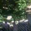 5月12日(月)私の絵手紙教室の日 NHK天気予想で午後から雨だったので欠席 10時に浅野先生からあるよと連絡有 欠席 夕方詩吟教室 久恵は高田さんと買い物と懇談 4時に家に帰る 3時過ぎから雨 真司と豊子を久恵のみが訪問」