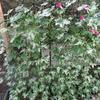 「くらしの植物苑」へ変化アサガオを見に行って来ました !!