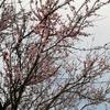 3月20日(水)浜松市中区曳馬で咲いていた桜花