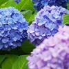 【梅雨の頃】紫陽花の季節…近所で撮った紫陽花の写真いろいろ