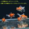【金魚宝典】浜錦 当才(7.5cm±)3匹セット☆スタッフがセレクトします!☆