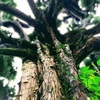 【自由研究】屋久杉の苔(⇒土からミジンコ採取⇒金魚の治療)