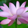鎌倉鶴岡八幡宮の蓮の花♪