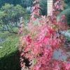 庭のモミジが紅葉し始めた。。