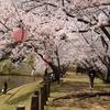 愛媛の桜祭りとお菓子まき。