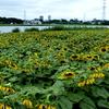 手賀沼のほとりの「ひまわり畑」