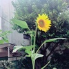 ひまわりは太陽の方向を向いて咲くことがおおい。