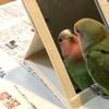 小桜インコの「さくら」〜鏡の中の自分と初めて対面してみた〜
