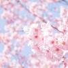 多摩川ラン|桜を見ながら多摩川沿いを走るなら、『ガス橋』と『等々力』がおすすめです。【約18km】