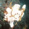 白い カエルアンコウも 珍しい?