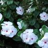 ニチニチソウが寒いのに元気に咲いている