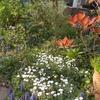 雪花火とピンクのクレマチスと咲いたみずき