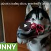 飼い主さんに怒られて隠した靴を持ってきたハスキー犬
