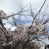 岐阜県観光大使の桜情報~ついに、開花。~