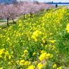関宿・中之島公園のこぶしの木 2012年